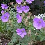 geranium vivace
