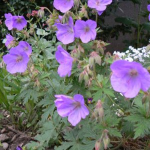 Geranium-johnson-blue-