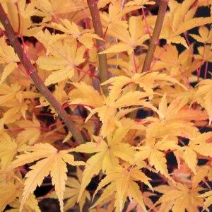 Acer-palmatum-sangokaku281010IMG_1709