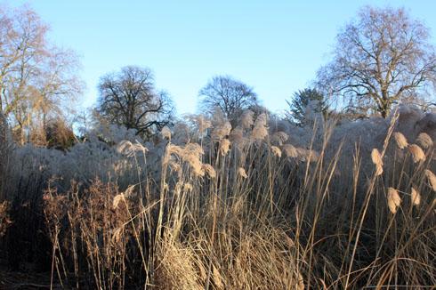 miscanthus en hiver