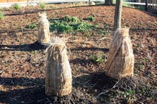 protection de plantes en paille pour l'hiver
