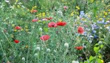 prairie fleurie en été