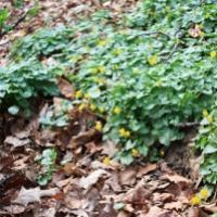 Fleurs des bois: avril au Mont Kemmel