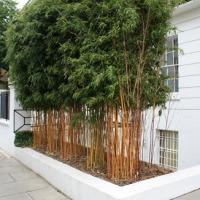 Haie de bambous en ville