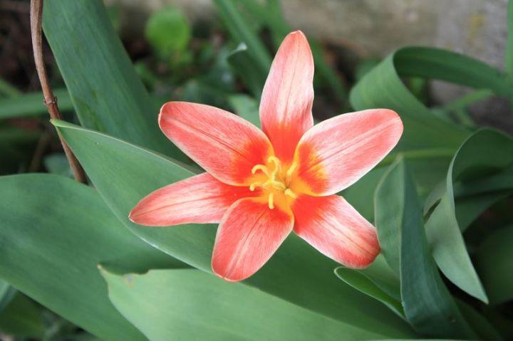 Tulipe-fashion-à-vérifier