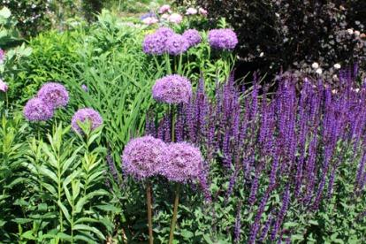 Allium géant avec des sauges caradonna