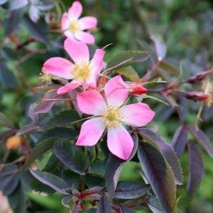 Rosa-glauca280511IMG_9177