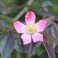 Rosa glauca: un tout terrain très moderne!