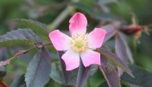 rosa glauca en fleur