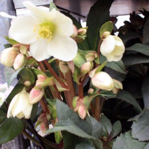 Hellebore-candy-love