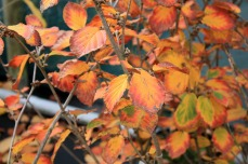 Feuillage de l'hamamelis Ruby Glow en automne