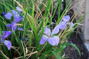 Iris-2011_12_28_3318