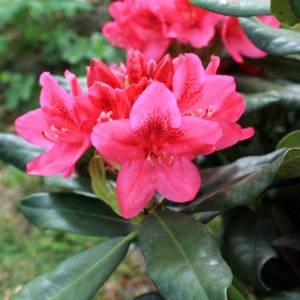 Rhododendron-nova-zemblaIMG_6376