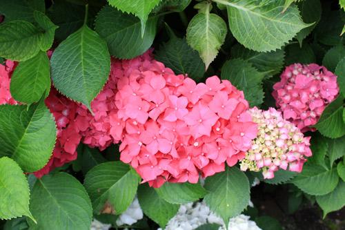 f t nat bleu blanc rouge pour les hortensias place des jardins le blog. Black Bedroom Furniture Sets. Home Design Ideas