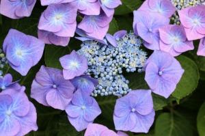 Hortensia-2012_07_17_9999_33