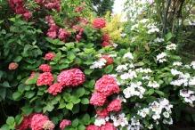 hortensia boule rouge et serrata blanc