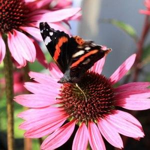 L'echinacea est un véritable bar à papillons