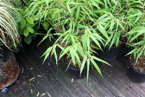 bambou-fragesia-rufa-2012_05_20_7660