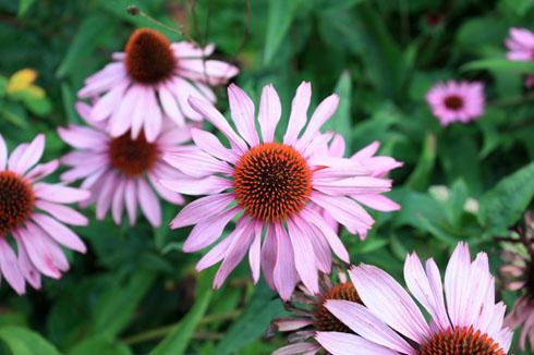 Echinacea ou rudbeckia pourpre, une plante vedette de la deuxième partie d'été!