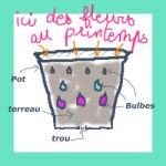 bulbes en pot