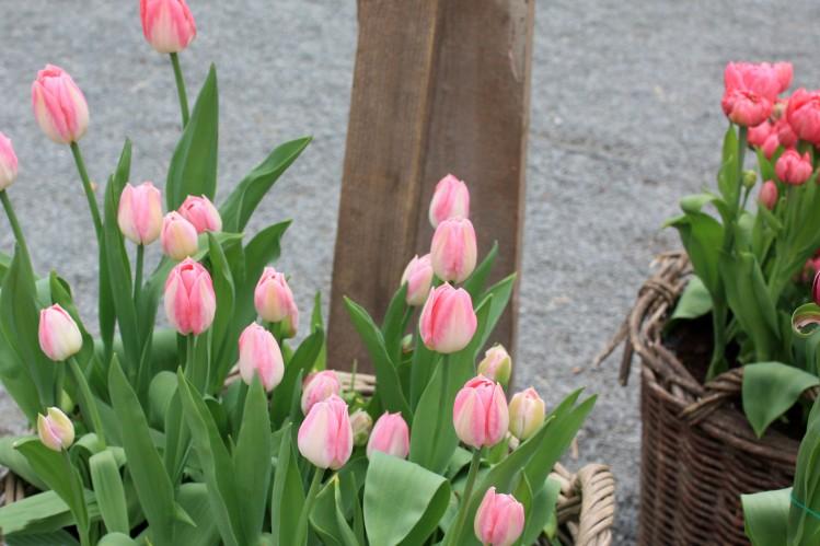 tulipe dynasty07_10_20110176