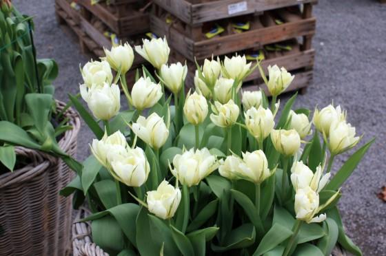 tulipe exotic emperor07_10_20110163