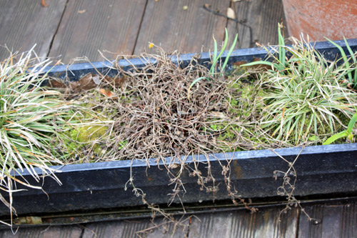 geranium sanne en jardinière