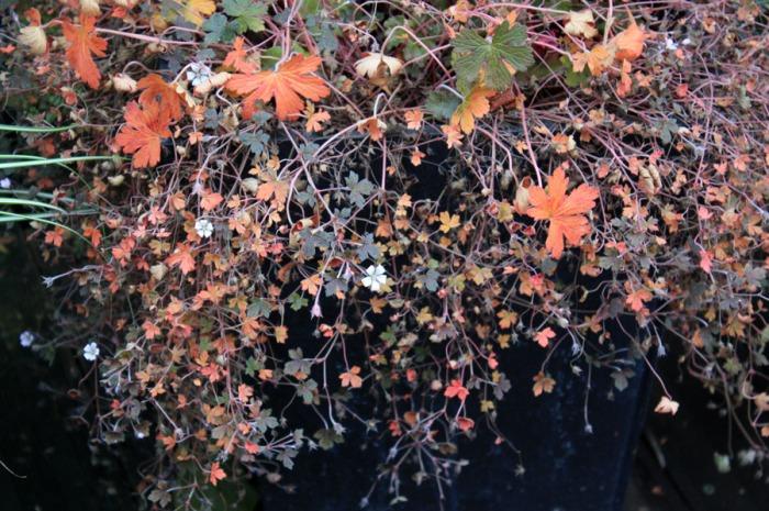 geranium sanne