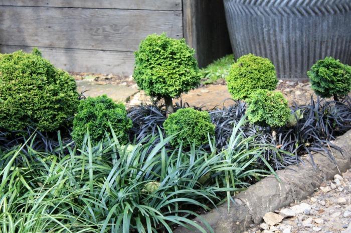 Cyprès du japon avec des opiopogons
