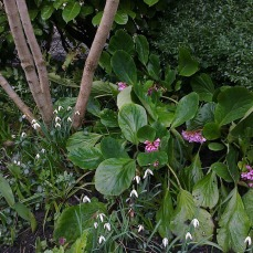 Association perce neige et bergenia rose