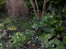 Un tapis de perce neige et primevères, un peu dévorées par la vermine, l'hiver est trop doux!