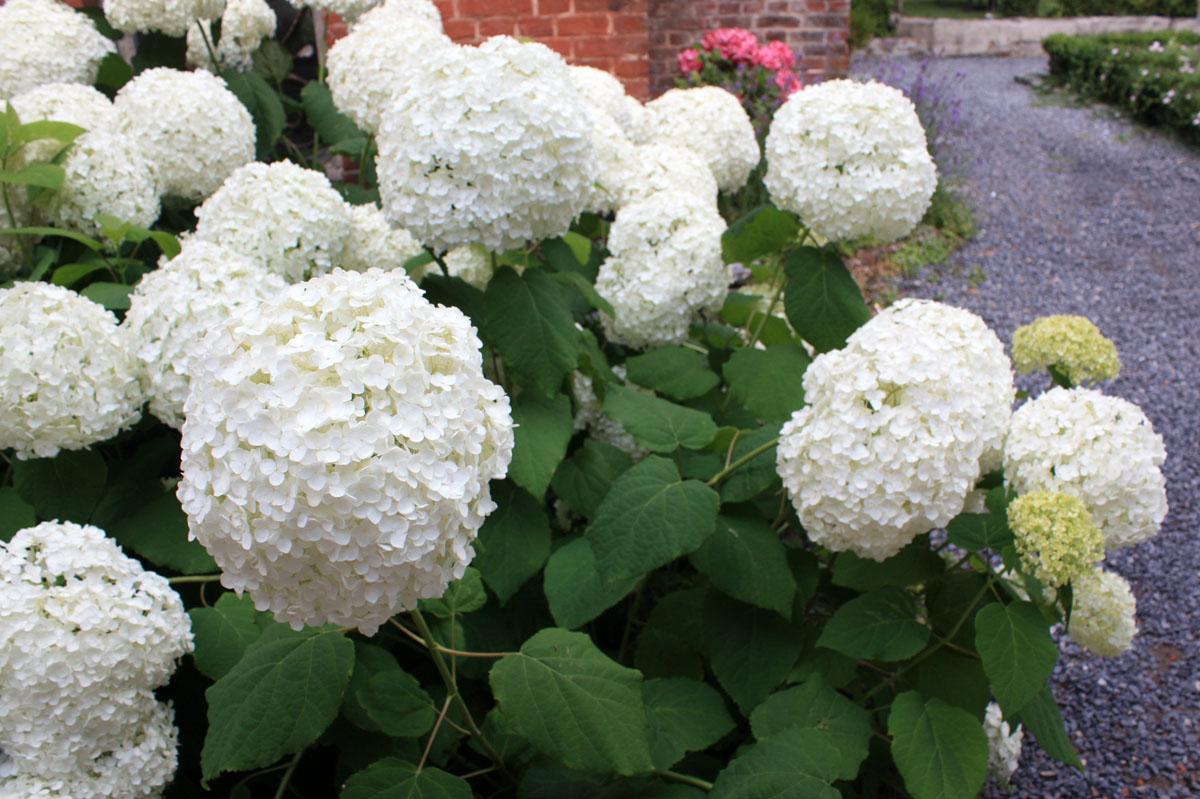 hortensia roi des nouveaux jardins frais place des jardins le blog. Black Bedroom Furniture Sets. Home Design Ideas