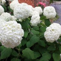 Hortensia, roi des (nouveaux) jardins frais