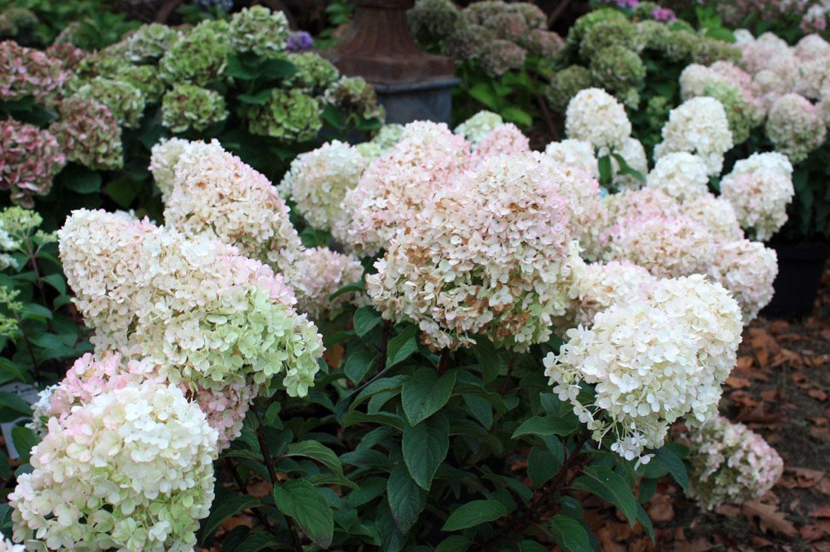 hortensia roi des nouveaux jardins frais place des. Black Bedroom Furniture Sets. Home Design Ideas