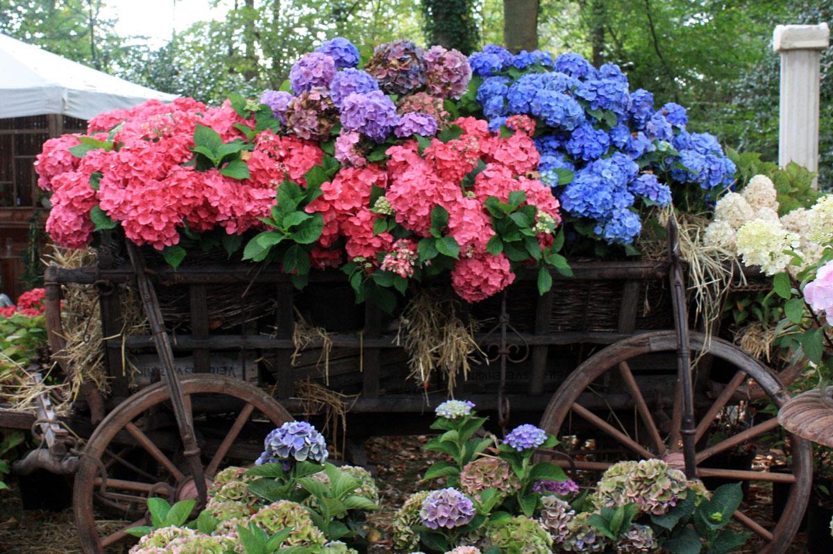 foto de Hortensia roi des (nouveaux) jardins frais Place des