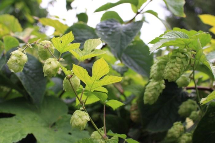 fleurs de houblon