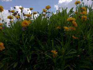 coreopsis plante vivace