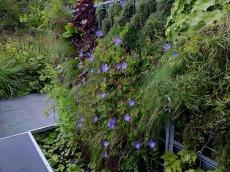 Le géranium vivace apporte une touche bleue très douce