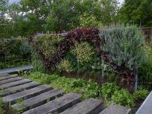 heuchères et calaments sur un mur végétal