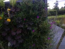 Les griffes de sorcières sont peu rustiques, mais très envahissantes, alors c'est l'idéal sur un mur végétal! On gardera quelques boutures au chaud cet hiver pour les réinstaller au printemps