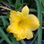 hemerocallis stella de oro 09092014 Photo2057