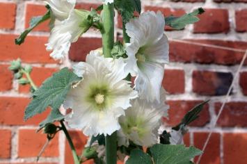 Rose trèmière blanche, floraison tout l'été, idéale devant la brique rouge!