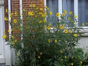 Floraison d'automne: les heliantus ou soleils
