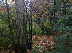 Un hamamelis perd ses feuilles, tapis doré!