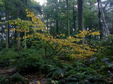 magnifique silhouette d'un hamamelis révélée par son feuillage qui se détache dans le sous bois