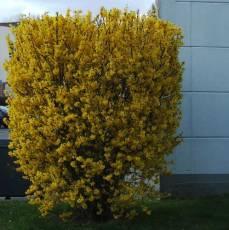 Arbustes croissance rapide place des jardins le blog - Quand tailler un forsythia ...