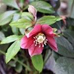 helleborus-orientalis-(2)