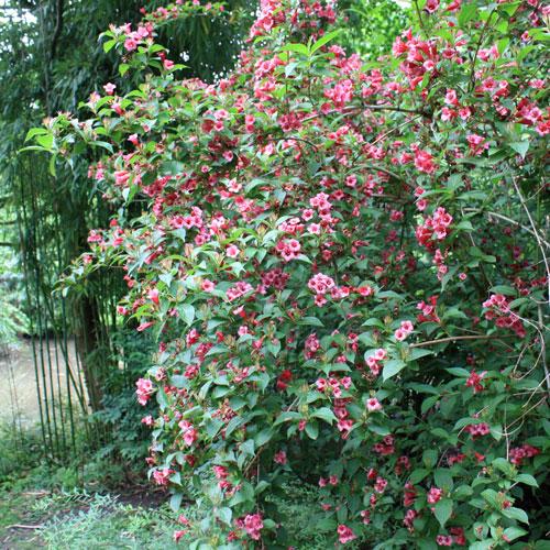 weigelia bristol ruby place des jardins le blog. Black Bedroom Furniture Sets. Home Design Ideas
