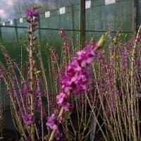 Daphné, l'arbuste parfumé