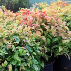 Nandina domestica Fire Power en novembre